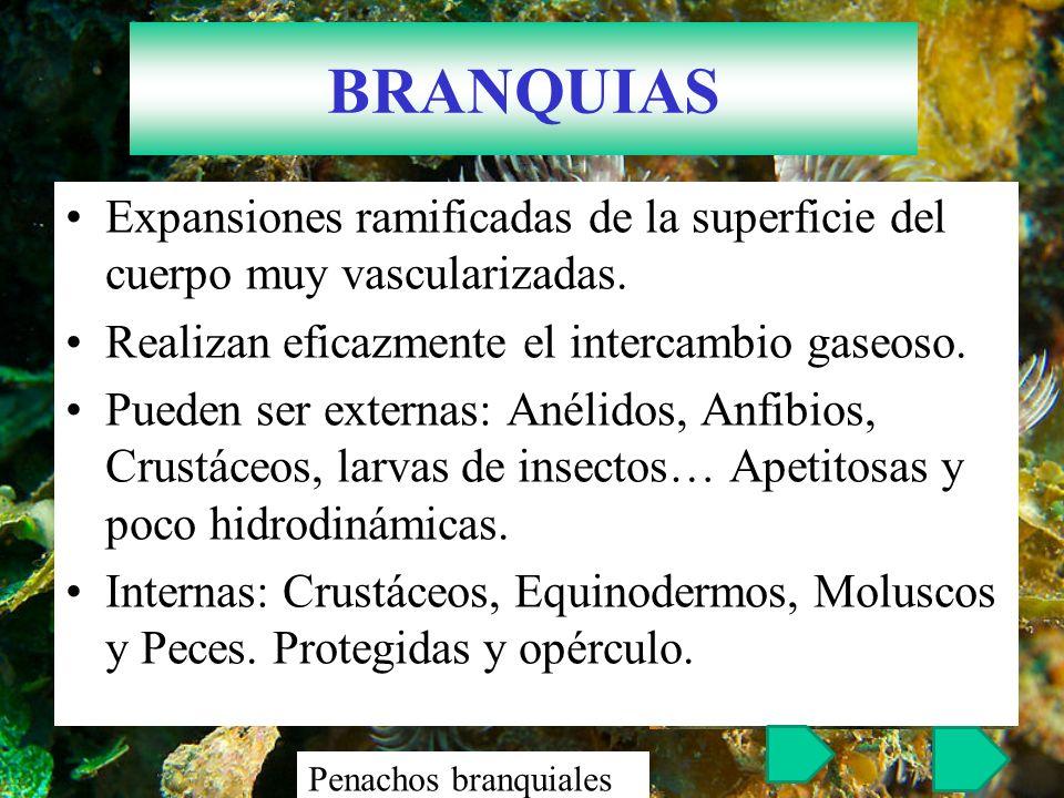 BRANQUIAS Expansiones ramificadas de la superficie del cuerpo muy vascularizadas. Realizan eficazmente el intercambio gaseoso.