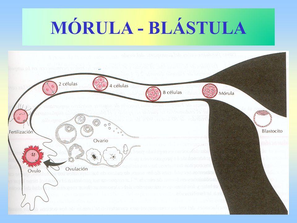 MÓRULA - BLÁSTULA
