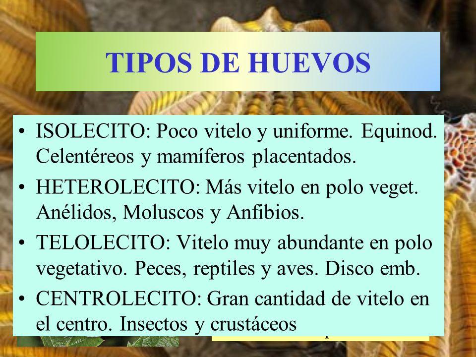 TIPOS DE HUEVOS ISOLECITO: Poco vitelo y uniforme. Equinod. Celentéreos y mamíferos placentados.
