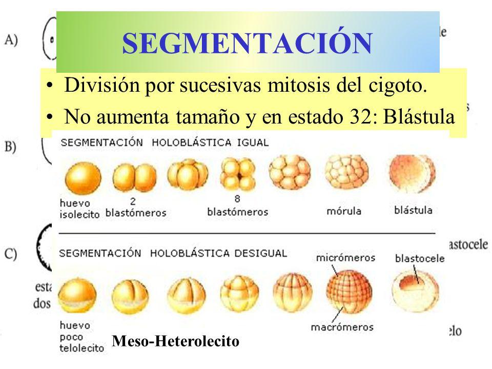 SEGMENTACIÓN División por sucesivas mitosis del cigoto.