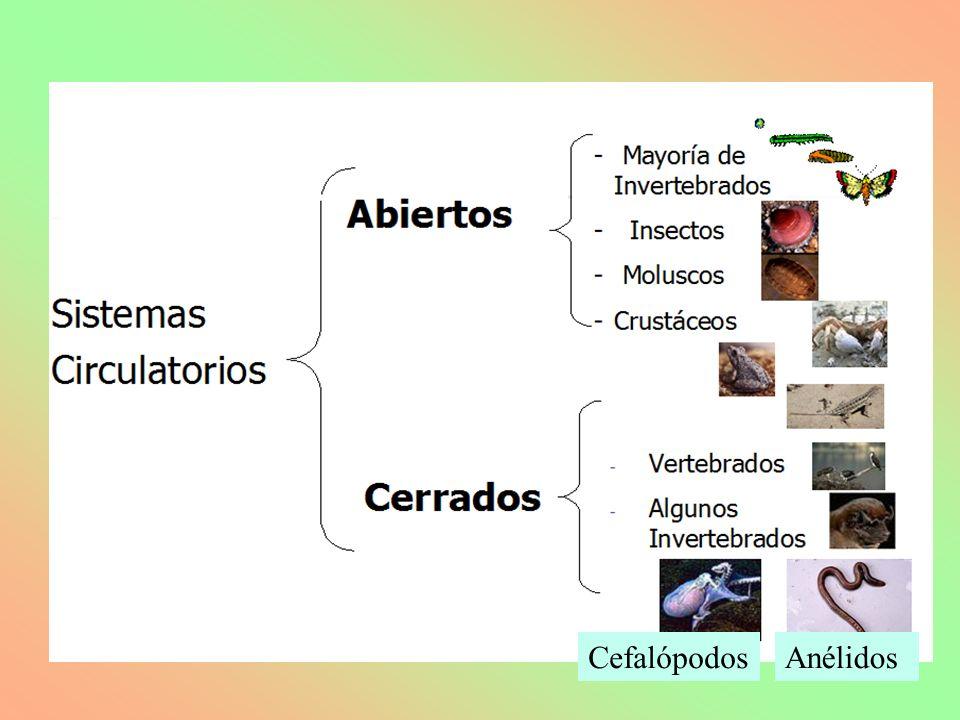 Cefalópodos Anélidos