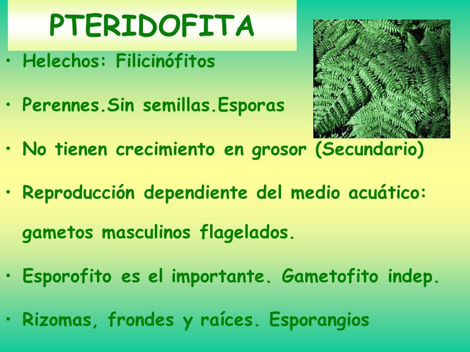 PTERIDOFITA Helechos: Filicinófitos Perennes.Sin semillas.Esporas