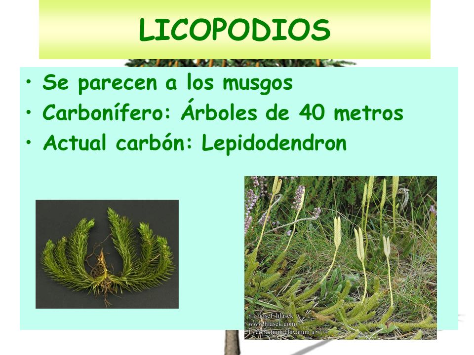LICOPODIOS Se parecen a los musgos Carbonífero: Árboles de 40 metros