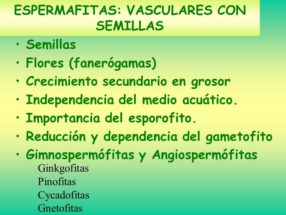 ESPERMAFITAS: VASCULARES CON SEMILLAS