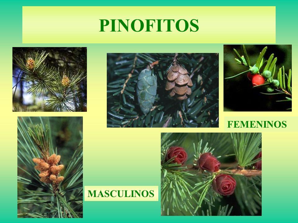 PINOFITOS FEMENINOS MASCULINOS