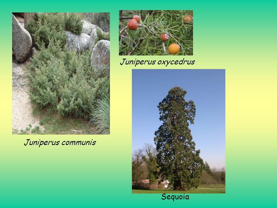 Juniperus oxycedrus Juniperus communis Sequoia