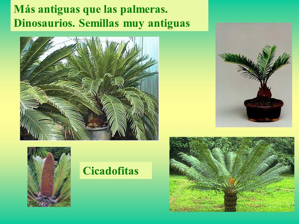 Más antiguas que las palmeras. Dinosaurios. Semillas muy antiguas