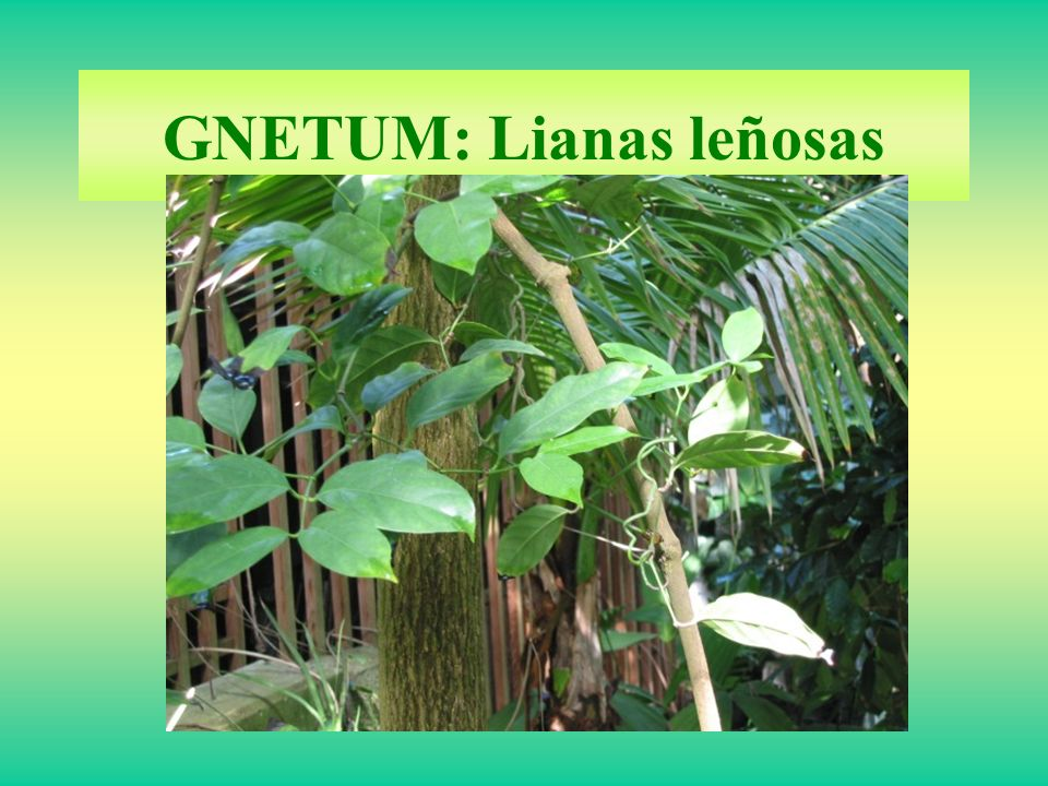 GNETUM: Lianas leñosas