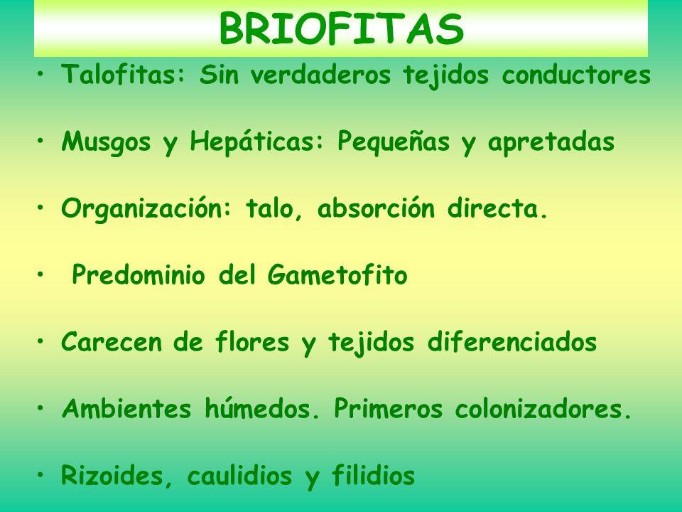 BRIOFITAS Talofitas: Sin verdaderos tejidos conductores