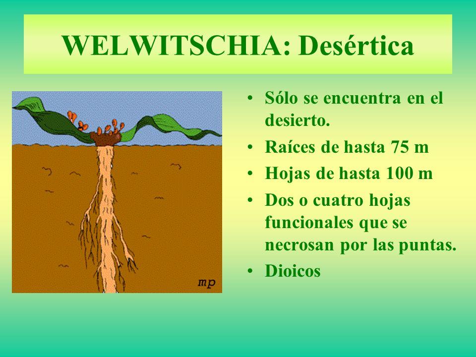 WELWITSCHIA: Desértica