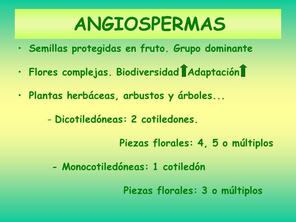 ANGIOSPERMAS Semillas protegidas en fruto. Grupo dominante