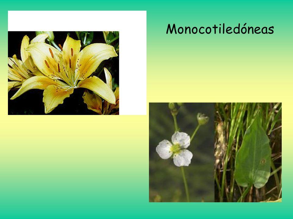 Monocotiledóneas