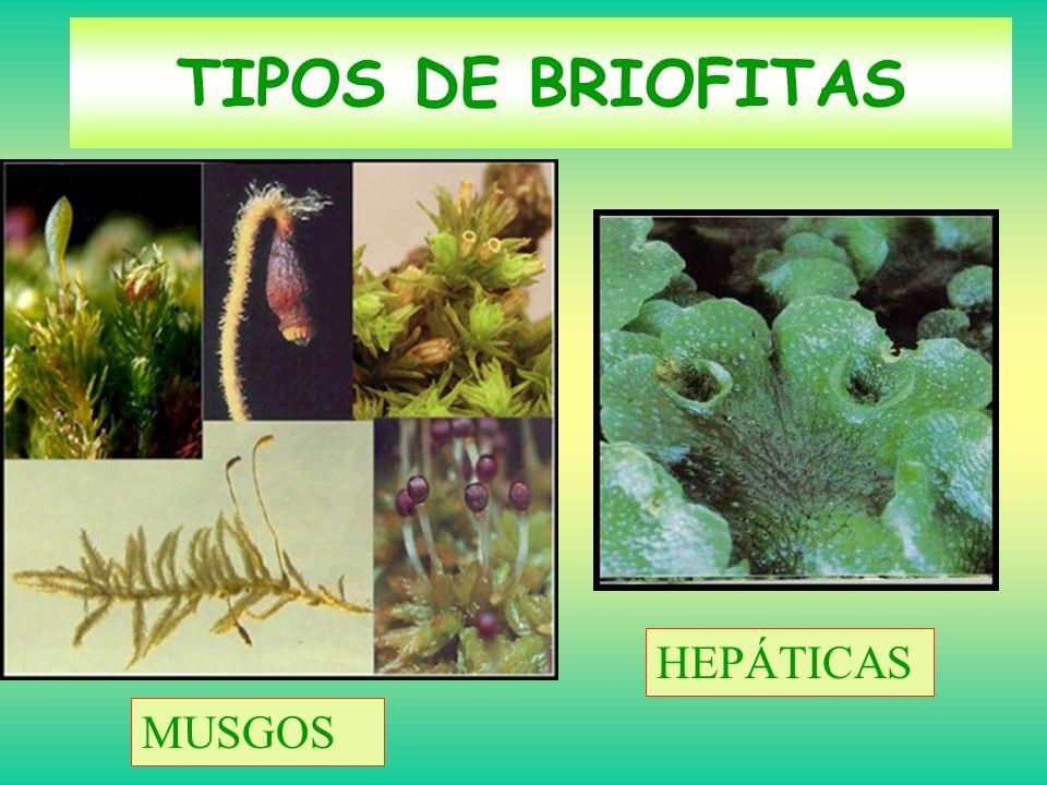 TIPOS DE BRIOFITAS HEPÁTICAS MUSGOS