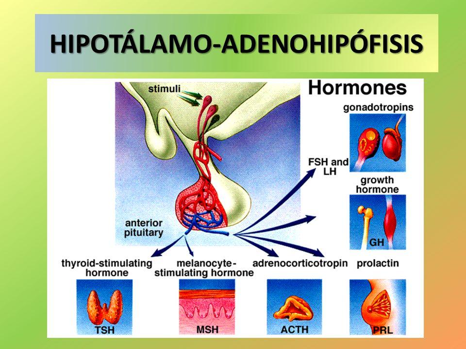 HIPOTÁLAMO-ADENOHIPÓFISIS