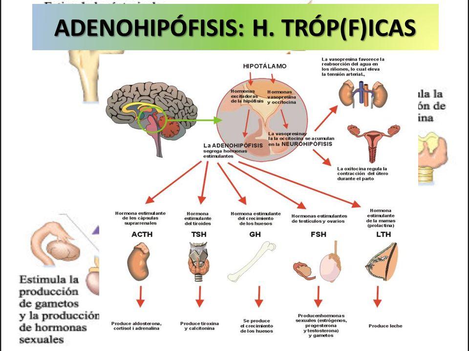 ADENOHIPÓFISIS: H. TRÓP(F)ICAS
