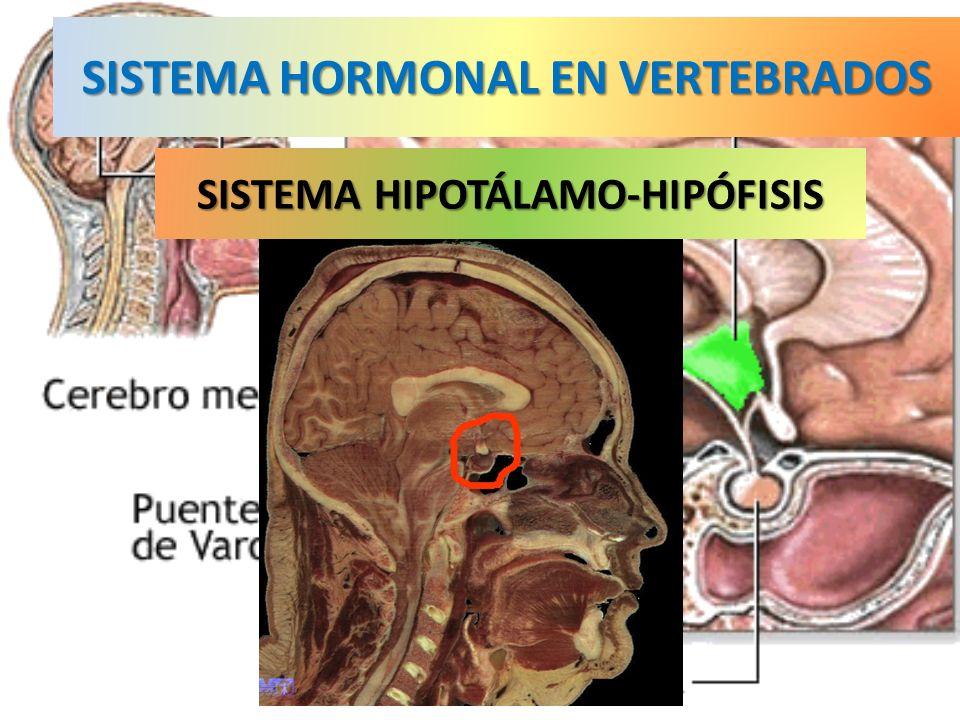 SISTEMA HORMONAL EN VERTEBRADOS