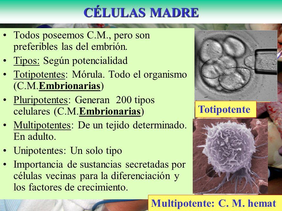 CÉLULAS MADRE HematopoyéticasPluripotentes Totipotente