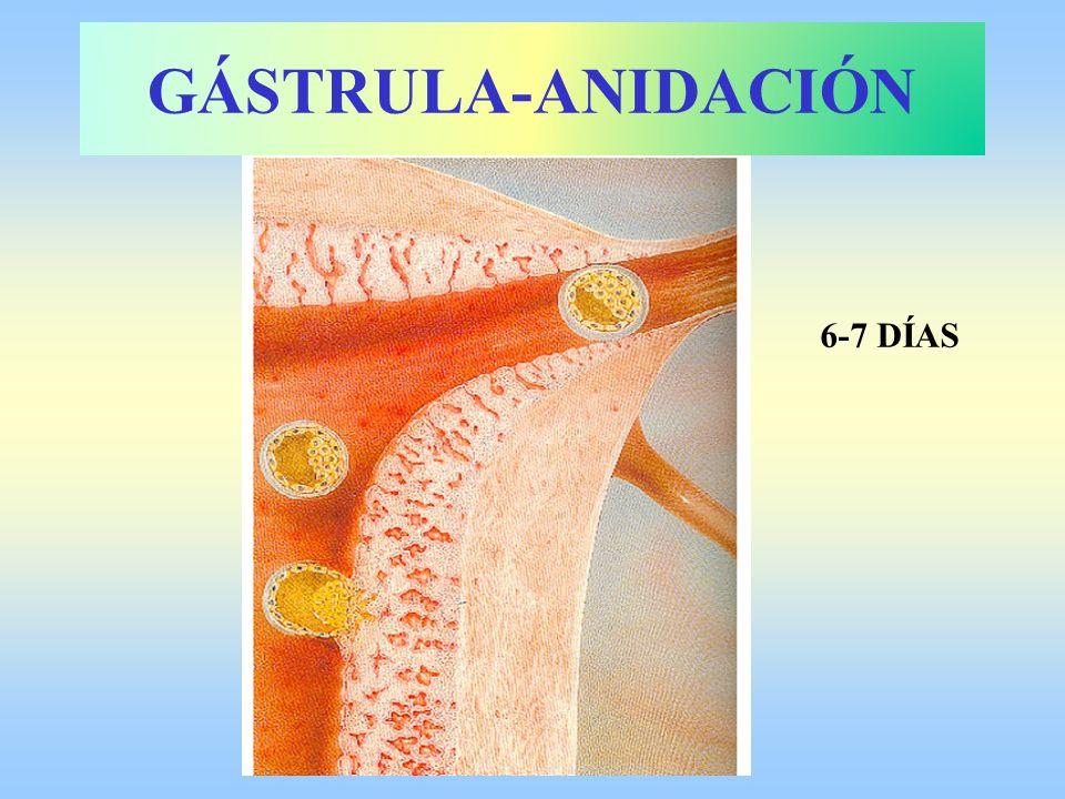 GÁSTRULA-ANIDACIÓN 6-7 DÍAS