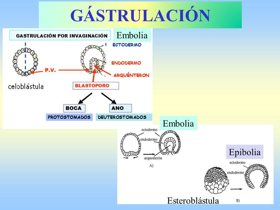GÁSTRULACIÓN Embolia Embolia Epibolia Esteroblástula