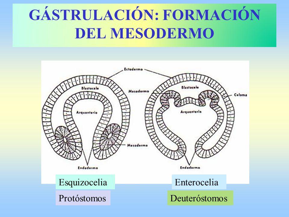 GÁSTRULACIÓN: FORMACIÓN DEL MESODERMO
