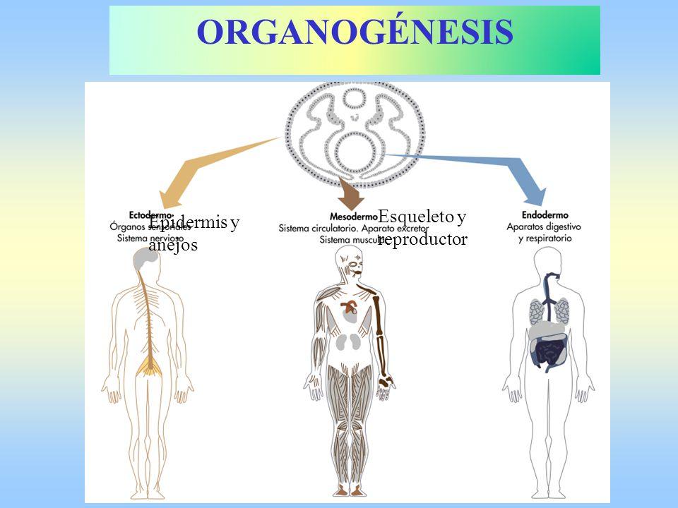 ORGANOGÉNESIS Esqueleto y reproductor Epidermis y anejos