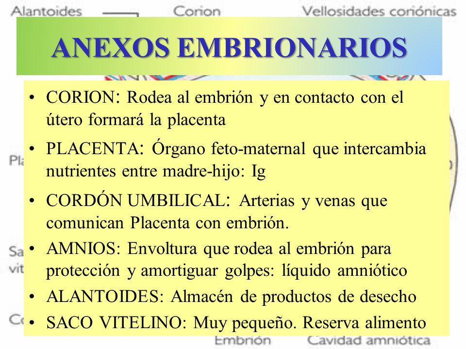 ANEXOS EMBRIONARIOS CORION: Rodea al embrión y en contacto con el útero formará la placenta.
