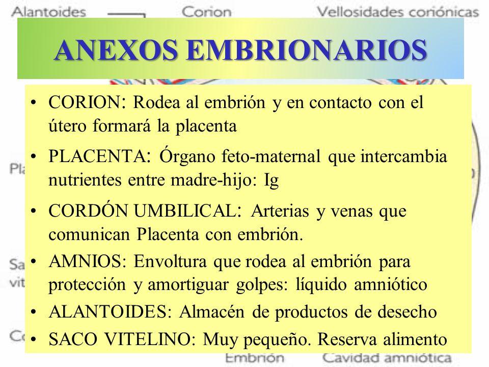 ANEXOS EMBRIONARIOSCORION: Rodea al embrión y en contacto con el útero formará la placenta.