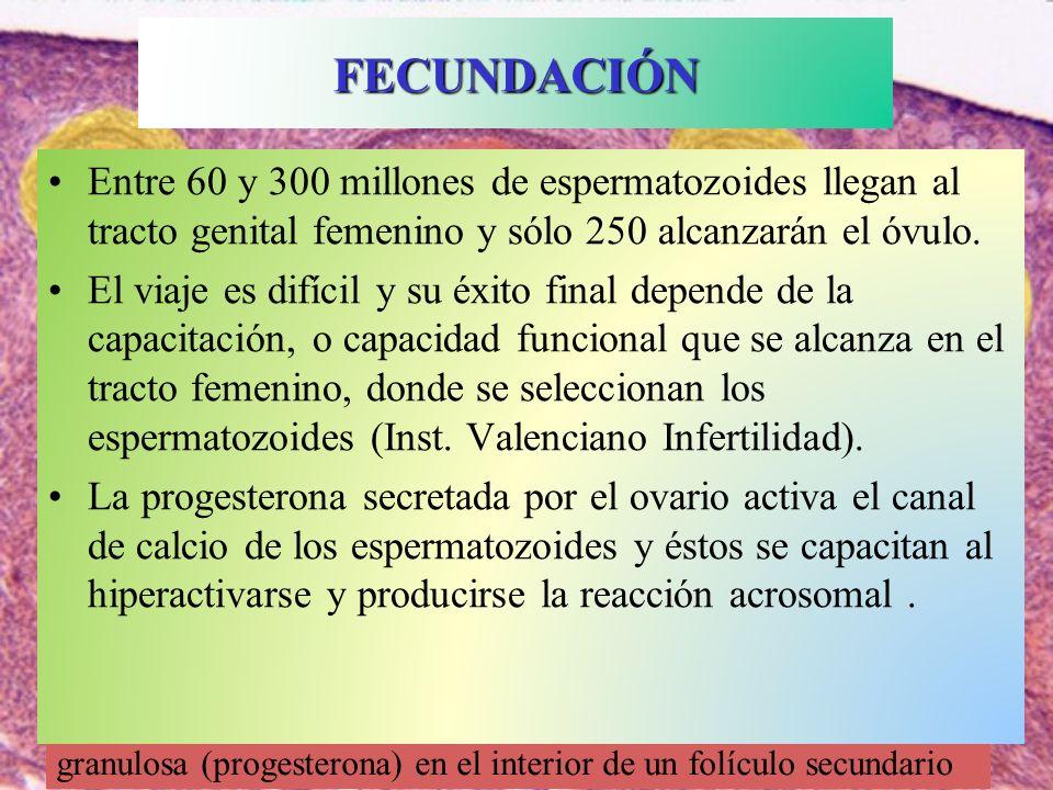 FECUNDACIÓNEntre 60 y 300 millones de espermatozoides llegan al tracto genital femenino y sólo 250 alcanzarán el óvulo.