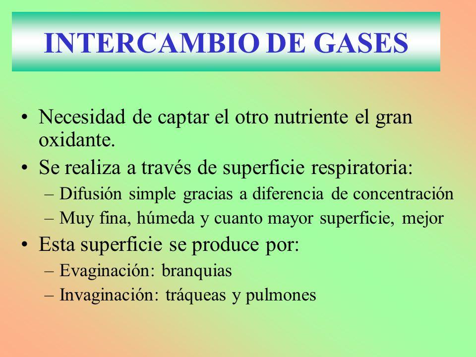INTERCAMBIO DE GASES Necesidad de captar el otro nutriente el gran oxidante. Se realiza a través de superficie respiratoria: