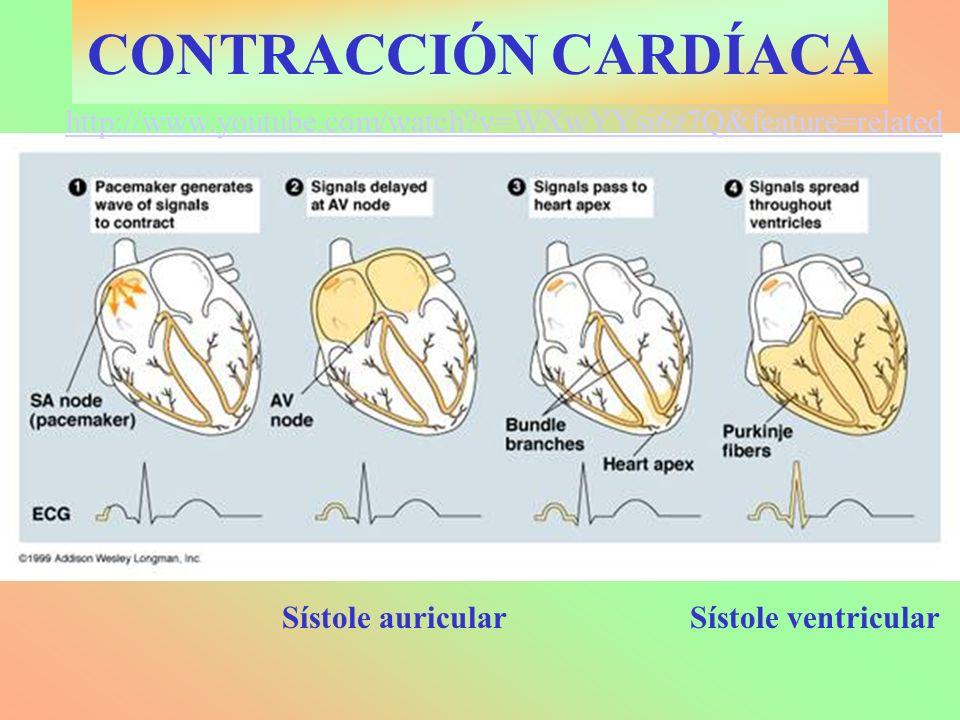 CONTRACCIÓN CARDÍACA http://www.youtube.com/watch v=WXwYYsi6z7Q&feature=related. Sístole auricular.