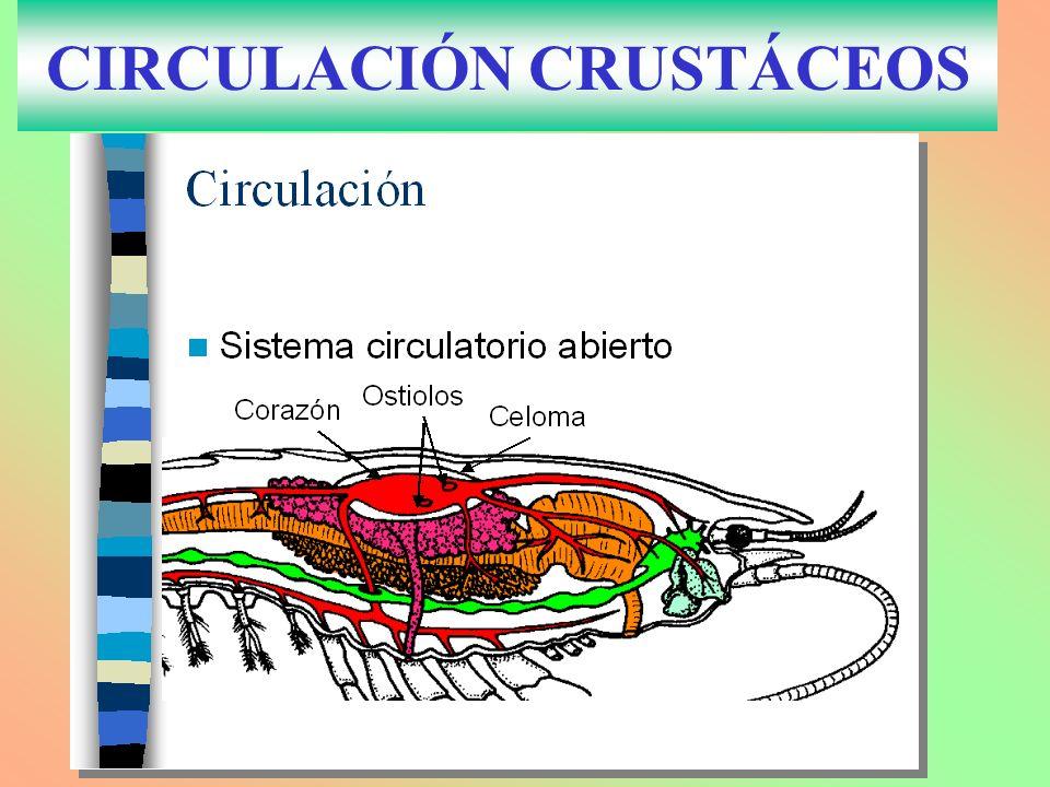 CIRCULACIÓN CRUSTÁCEOS