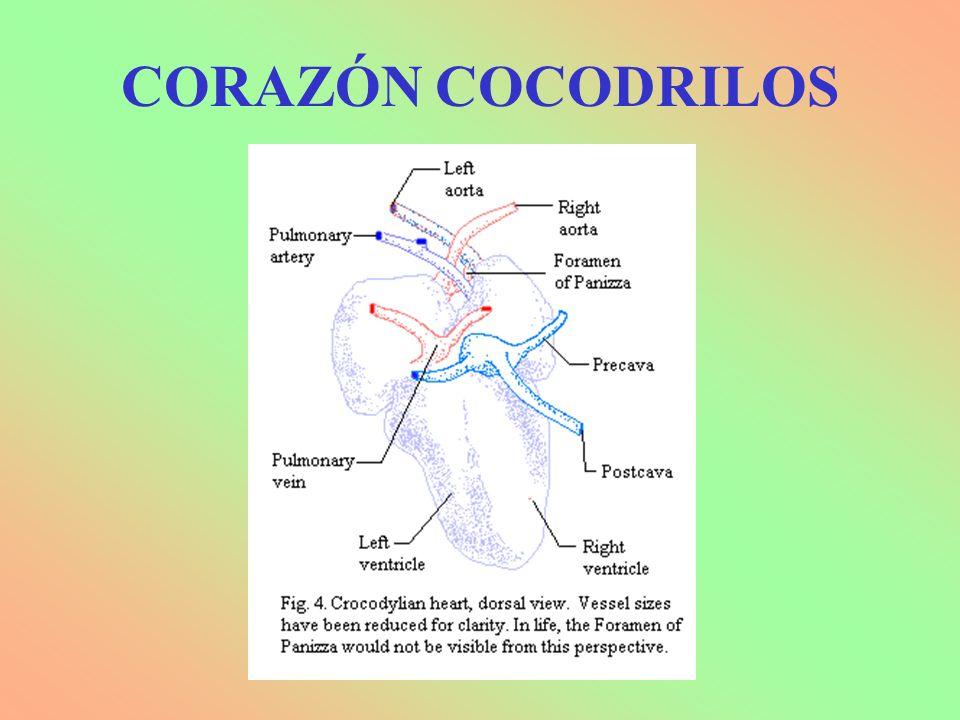 CORAZÓN COCODRILOS