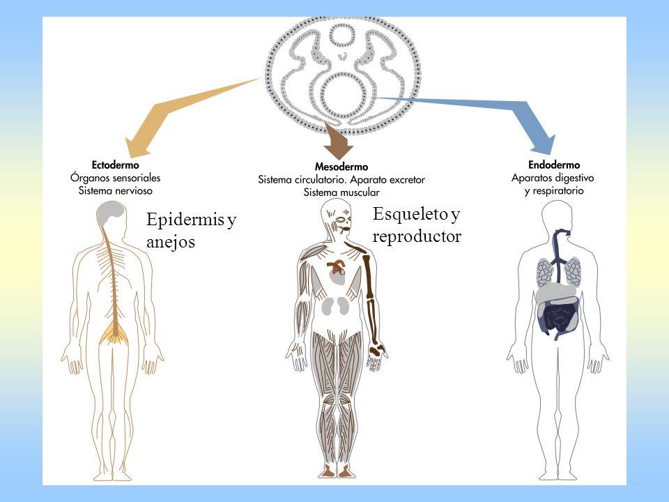 Esqueleto y reproductor