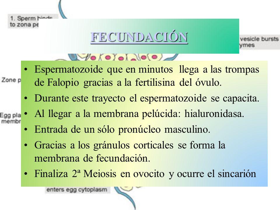 FECUNDACIÓN Espermatozoide que en minutos llega a las trompas de Falopio gracias a la fertilisina del óvulo.