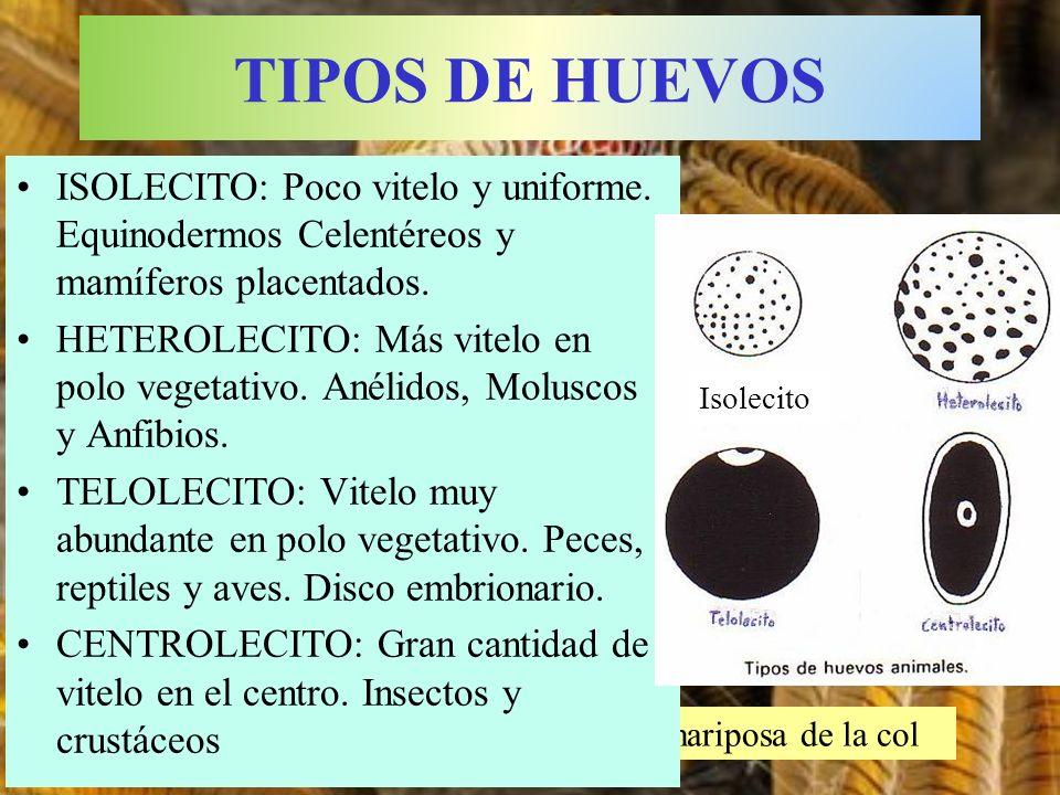 TIPOS DE HUEVOS ISOLECITO: Poco vitelo y uniforme. Equinodermos Celentéreos y mamíferos placentados.