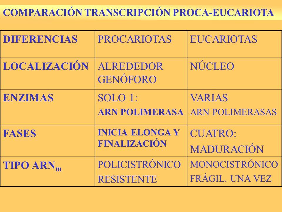 DIFERENCIAS PROCARIOTAS EUCARIOTAS LOCALIZACIÓN ALREDEDOR GENÓFORO
