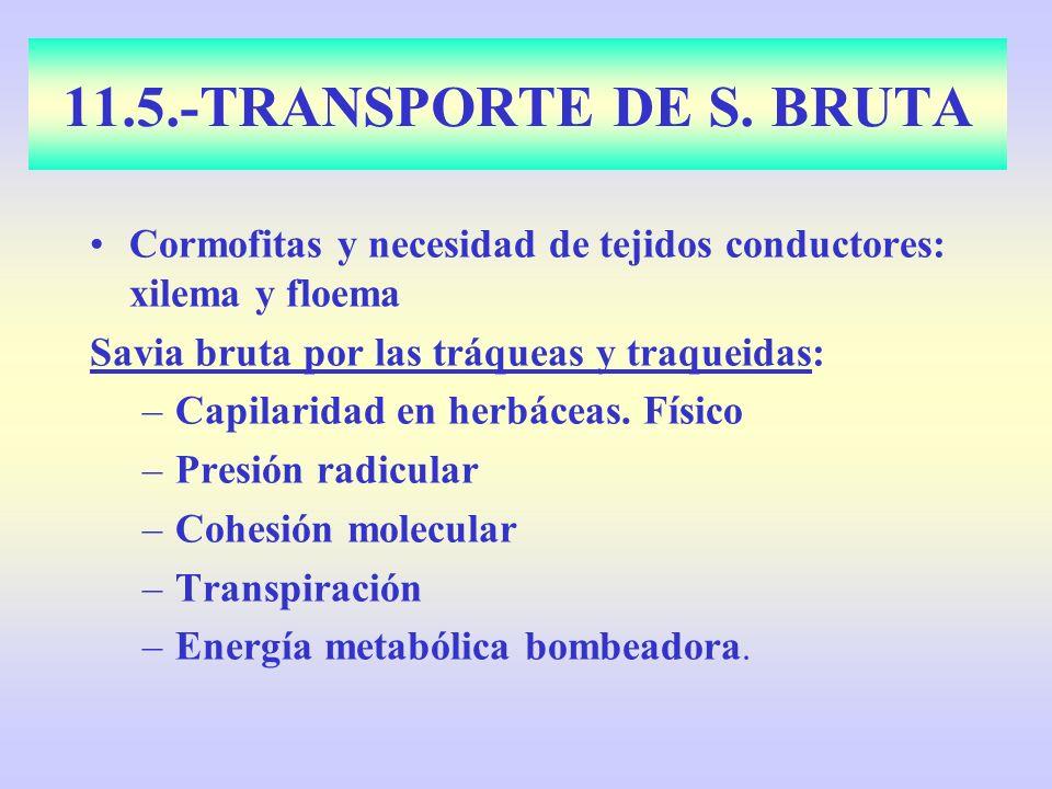 11.5.-TRANSPORTE DE S. BRUTA Cormofitas y necesidad de tejidos conductores: xilema y floema. Savia bruta por las tráqueas y traqueidas: