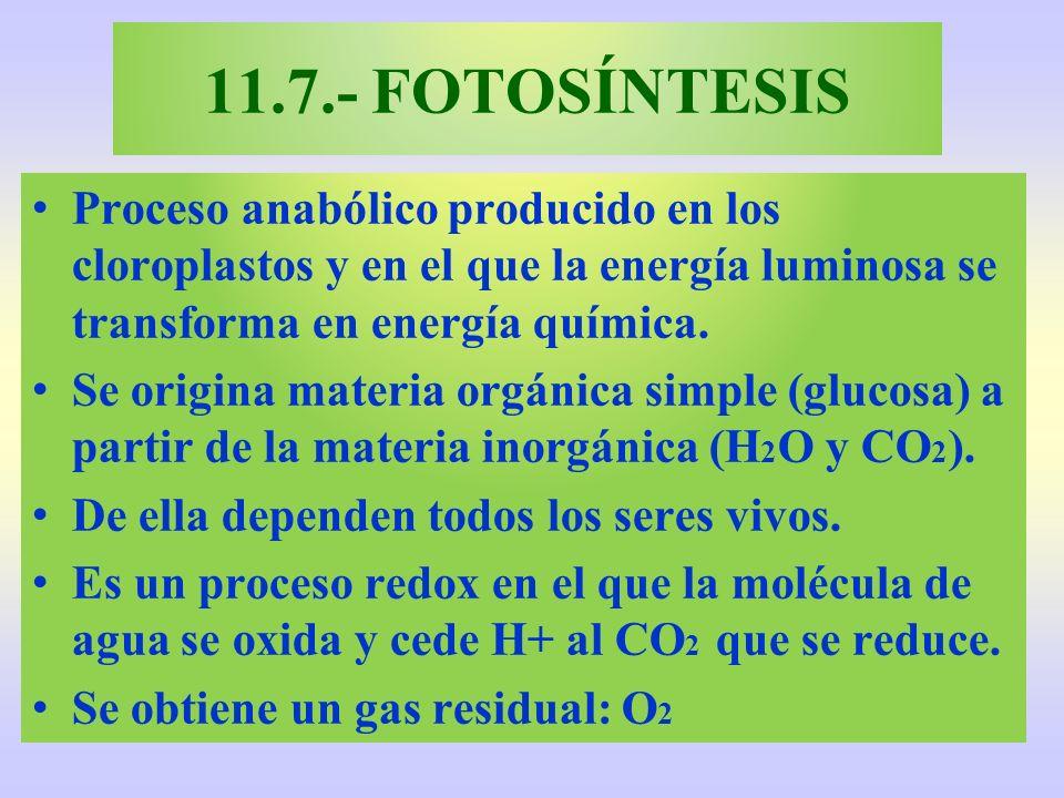11.7.- FOTOSÍNTESIS Proceso anabólico producido en los cloroplastos y en el que la energía luminosa se transforma en energía química.
