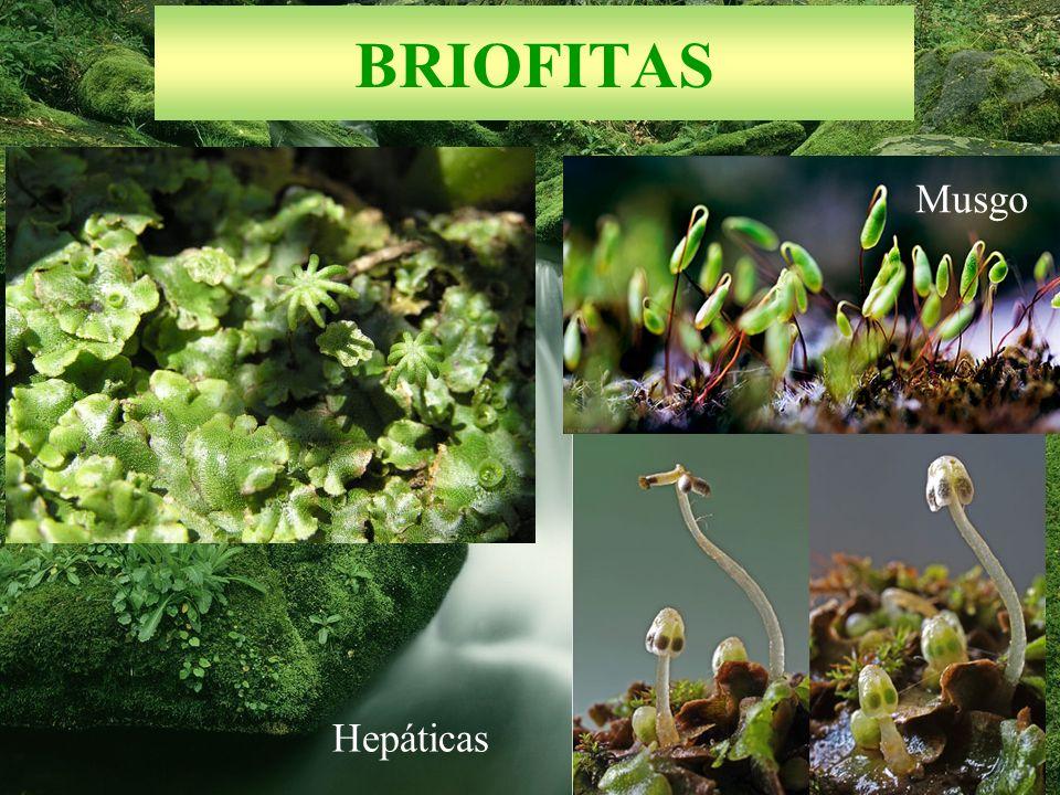 BRIOFITAS Musgo Hepáticas