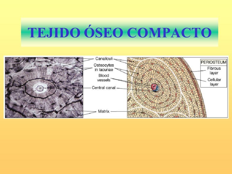 TEJIDO ÓSEO COMPACTO