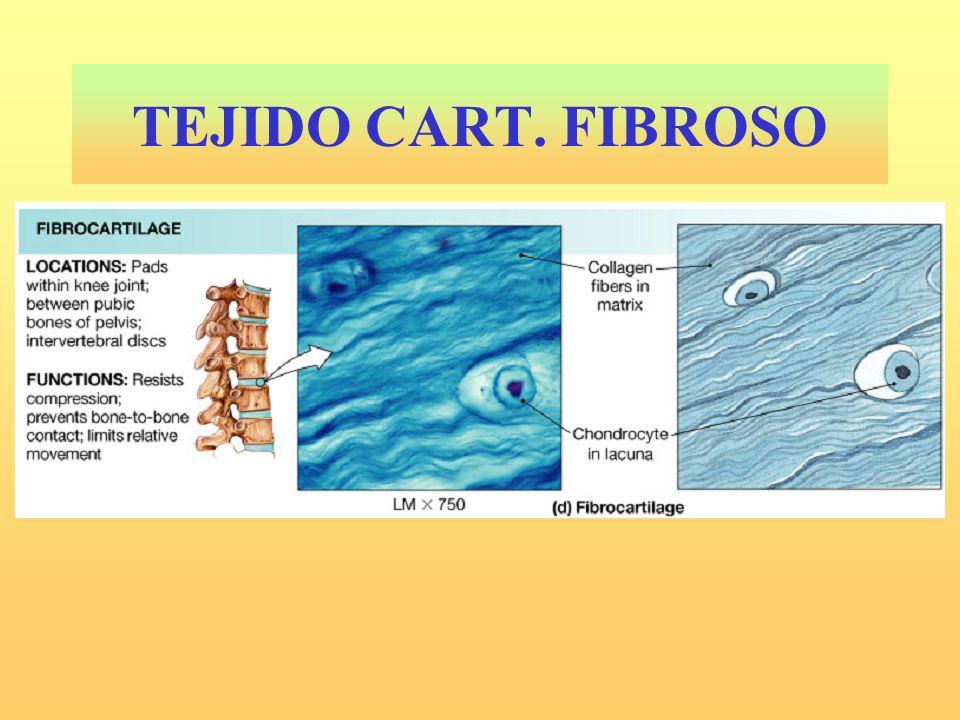 TEJIDO CART. FIBROSO