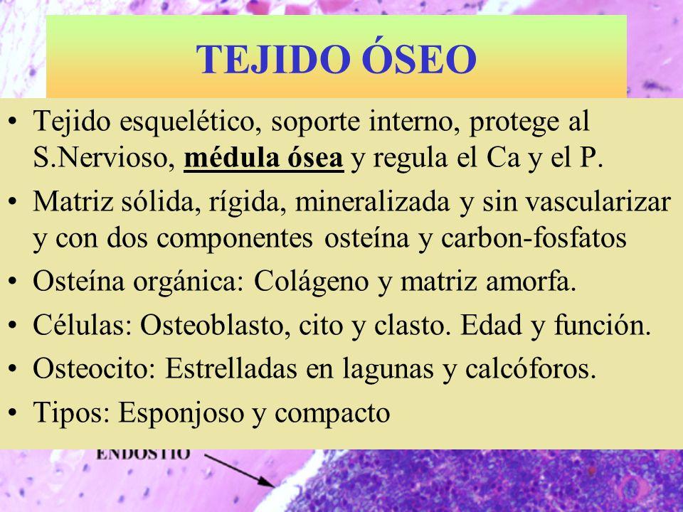 TEJIDO ÓSEO Tejido esquelético, soporte interno, protege al S.Nervioso, médula ósea y regula el Ca y el P.