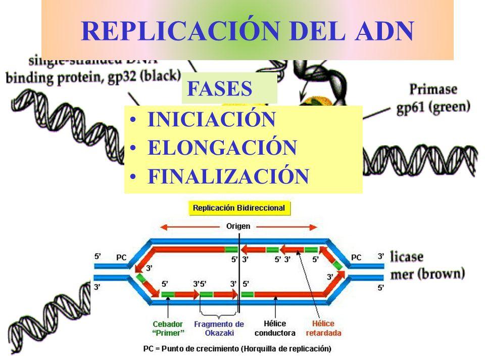 REPLICACIÓN DEL ADN FASES INICIACIÓN ELONGACIÓN FINALIZACIÓN