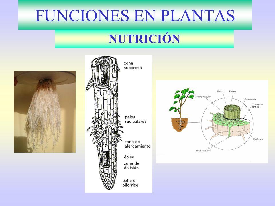 FUNCIONES EN PLANTAS NUTRICIÓN