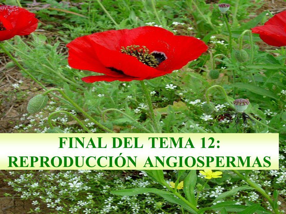 FINAL DEL TEMA 12: REPRODUCCIÓN ANGIOSPERMAS