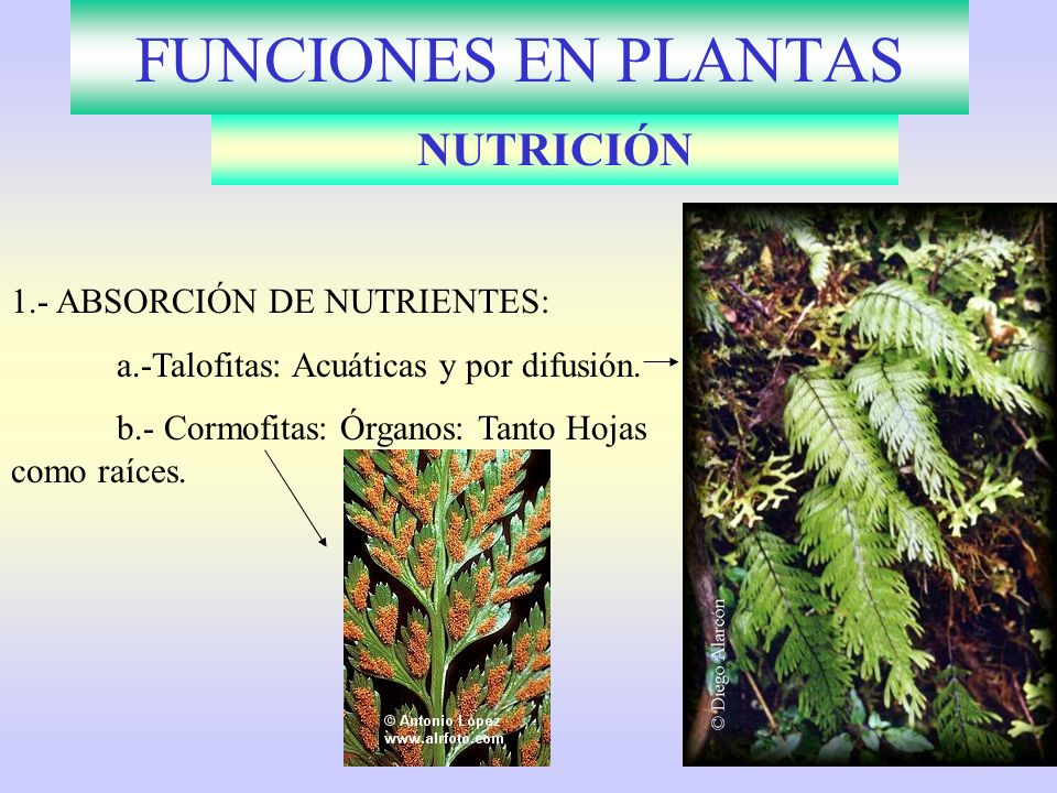 FUNCIONES EN PLANTAS NUTRICIÓN 1.- ABSORCIÓN DE NUTRIENTES: