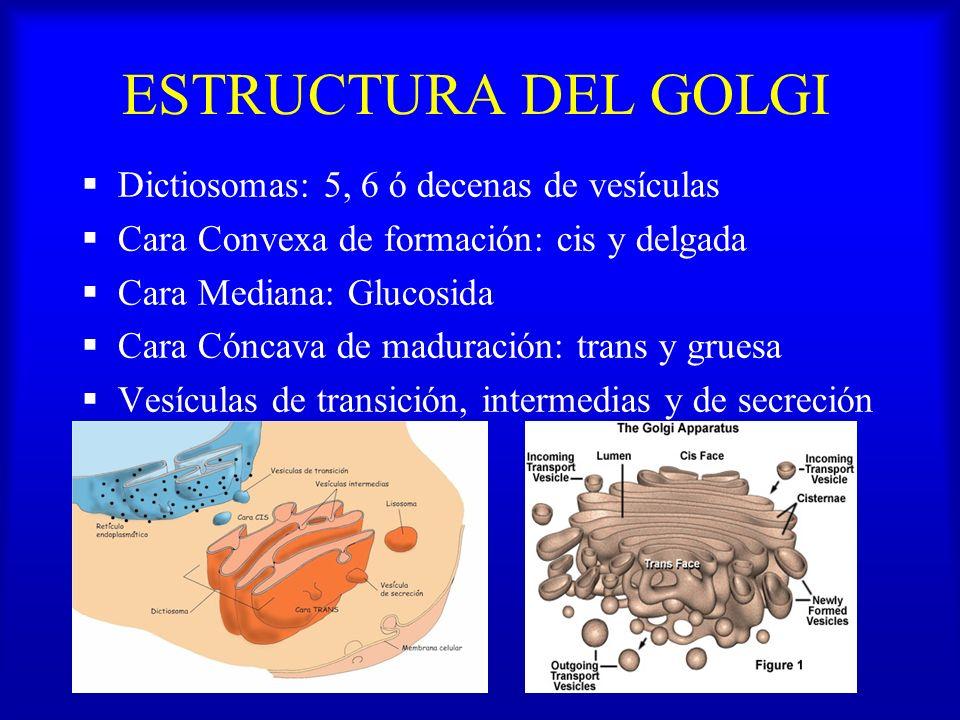 ESTRUCTURA DEL GOLGI Dictiosomas: 5, 6 ó decenas de vesículas