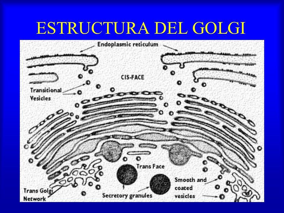 ESTRUCTURA DEL GOLGI