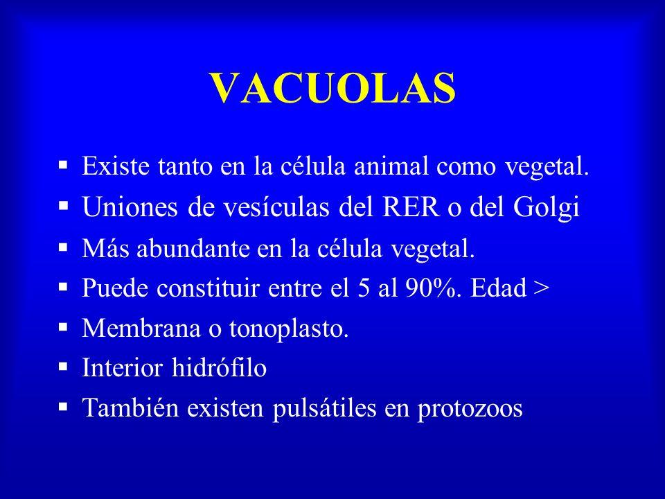 VACUOLAS Uniones de vesículas del RER o del Golgi