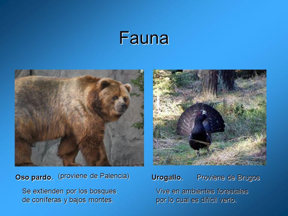 Fauna Oso pardo. (proviene de Palencia) Urogallo. Proviene de Brugos